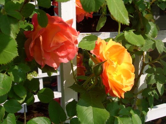 B- Roses, Roses